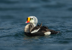 King Eider - explored (betty wiley) Tags: king eider duck wildlife bettywileyphotography capecod bourne canal nature