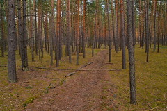 Ditch in the pine forest (МирославСтаменов) Tags: russia moscowregion ditch moss pine forest stand trunk tree spring