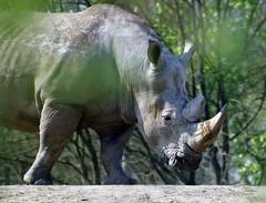 Breitmaulnashorn - Rhinozeros - Rhinocerotidae (Frank S (aka Knarfs1)) Tags: breitmaulnashorn rhinozeros rhinocerotidae säugetier mamal tier animal zoo