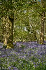 Bluebells (ellie.taylor30) Tags: spring nikonnaturephotography nikon nature flickrnature bluebells hampshire