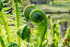 Farn01 (R.Xof) Tags: erlin berlintiergarten blatt farn knospe leaf leaves natur pflanze plant planta trieb vegetal
