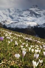 Krokusfeld (André Grossen) Tags: griesalp canon schweiz blüemlisalp alpen krokusfeld krokus
