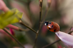 Accrobranche (Doriane Boilly Photographie Nature) Tags: coccinelle macro branche insecte printemps fleurs garden couleur nature rouge