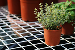 Rosemary (Nancy CJ Hsu) Tags: rosemary plants herb homegrown grid grate