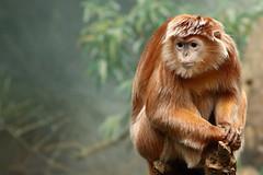 IMG_2770_1 (jopaz53) Tags: ef20028lll monkey animal zoo