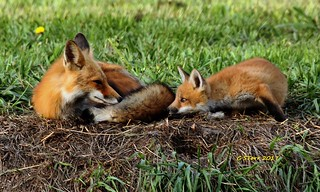 IMG_2047 red fox and kit