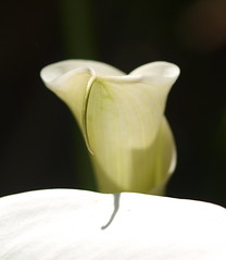 Day-111 Calla Lily art, EXPLORE #388, 04.21.17. (Kazooze) Tags: flowers lily callalily macro nature garden art day111 explore