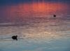 Folaghe al tramonto - Coots at sunset (Ola55) Tags: italy ola55 lagotrasimeno lago lake folaghe coots tramonto sunset acqua water riflessi reflections umbria uccelliacquatici waterbirds italians