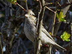 Apr22,2017 DSC05022 Immature male Cassin's Finch (terrygray) Tags: finch