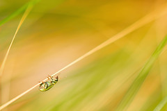 Hangin' on a Saturday (Barrie T) Tags: macro luminar grass insect colour macrodreams bokeh