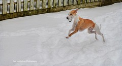 TOBY (Rex Montalban Photography) Tags: rexmontalbanphotography whippet actiondogs dog