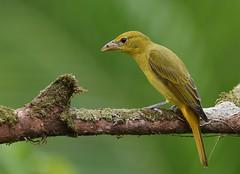 Summer Tanager - female (anacm.silva) Tags: summertanager tanager ave bird wild wildlife nature natureza naturaleza birds aves bocatapada costarica pirangarubra