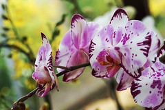 Orchid (Wim van Bezouw) Tags: orchid flower plant nature sony ilce7m2 leaf purple