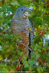Gang-gang_Cockatoo (Australia's Wildlife) Tags: animal australia bird cockatoo fauna ganggangcockatoo hawthorn merimbula newsouthwales parrot
