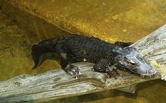 Memphis Zoo 08-31-2016 - West African Dwarf Crocodile 1 (David441491) Tags: memphis reptile