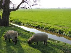 Schaapjes op het droge (Shahrazad26) Tags: schape sheep bollenvelden bollenstreek landscape landschap nederland holland zuidholland thenetherlands paysbas