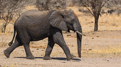 In A Hurry ... (AnyMotion) Tags: africanelephant afrikanischerelefant loxodontaafricana elephant elefant moving 2015 anymotion tarangirenationalpark tanzania tansania africa afrika travel reisen animal animals tiere nature natur wildlife 7d2 canoneos7dmarkii ngc npc