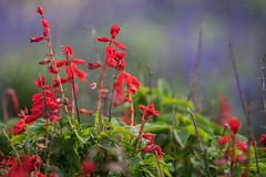 Red on mauve (OzzRod) Tags: pentax k5iis smcpentaxk135mmf25 garden flowers red mauve bokeh kingedwardpark newcastle