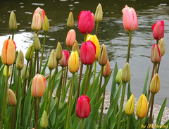 Greetings from Keukenhof (Shahrazad26) Tags: tulpen tulips colors colours couleurs farben kleuren bollenstreek keukenhof nederland holland thenetherlands paysbas zuidholland lisse