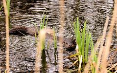 R.S.P.B. Minsmere Otter (ian._harris) Tags: nikon d7200 g2 tamron 150600mm rspb natur nature spring mismere suffolk coastal