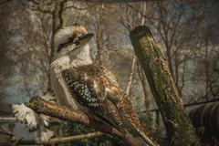 A nice bird! (xilixir) Tags: bird animal planet nikon nikkor nikonporn nikonusers natureupclose natureloversgallery dx d3300 dichtbij dxcamera wildlife wild zoo captive vintage lightroom