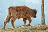 Heckrund - Bos domesticus (wimberlijn) Tags: heckrund bosdomesticus beiersewoud bayerischerwald nationalparkzentrumfalkenstein heckrind bavarianforest heckcattle nature wildlife animal outdoor
