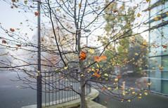 Fall (Ian@NZFlickr) Tags: fall autumn colour color tree fog uni otago dunedin nz