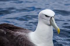 New Zealand White Capped Albatross (Cisc Pics) Tags: newzealand albatross mollymawk thalassarchesteadi bird water ocean wildlife islandpassage islandescape fishing aotearoa nikon d7000 dx 80400mm
