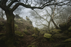 Sheep in the woods (J C Mills Photography) Tags: peakdistrict derbyshire sheep woodland wood trees mist fog rocks boulders gritstone sessileoak birch moss winter england uk