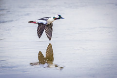 Bufflehead (Explored) (Loren Mooney) Tags: marysville bufflehead duck washington birdsinflight nature pugetsound bird americanbirds outdoors westernwashington wildlife snohomishcounty wilderness animal american bif bucalb buff birding birds birdwatching bucephalaalbeola buffleheadduck buffleheadducks buffleheads ducks flight fly flying flyingbird motion movement snohomish wa washingtonstate wild wings