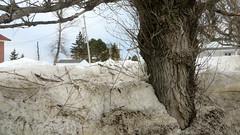 Arrière-saison à Sainte-Luce (Robert Saucier) Tags: saintelucesurmer sainteluce basdufleuve bassaintlaurent arbre tree neige snow hiver winter img7880