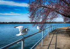 Cherry Blossoms in Washington, DC (` Toshio ') Tags: toshio washingtondc washington dc seagulls tidalbasin water rail tree blossoms districtofcolumbia clouds sidewalk path