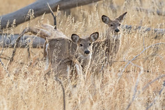 Cute young White-tailed Deer