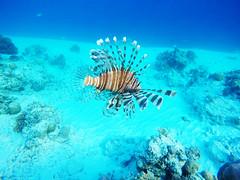 Lionfish (Landersz) Tags: philippines filippine coron palawan club paradise snorkeling turtle shark clownfish nemo dugong landersz canon 5dmk3 nimar gopro hero5
