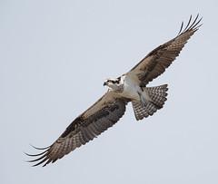 female Osprey in flight (Mawrter) Tags: osprey flight fly flying avian motion action wings wingspan feathers canon forsythenwr brigantine nj nature specanimal
