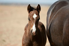 ♥ (It Feels Like Rain) Tags: 2017foals westtexas ranch ranching ranches americanquarterhorseassociation aqha filly foal fillies horse horses equine caballo cheval 20 2017colts