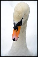 Swan (Laineyb93) Tags: photo photography muteswan beautiful framed d7000 swan beak orange white feathers nikon lakedistrict bird wildlife nature coniston unlimitedphotos