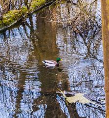 Schwimmende Ente - swimming Duck (Bernsteindrache7) Tags: water wasser sony alpha 100 spring animal duck flora fauna tiere bird outdoor park landscape