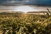 Wild oats at sunrise (tibchris) Tags: greass oats sunrise california carrizzoplain landscape dawn
