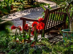 A Place In The Sun (Wes Iversen) Tags: annarbor benchmonday hbm matthaeibotanicalgardens michigan nikkor80400mm benches blooms blossoms flowers parkbench paths trees amaryllis