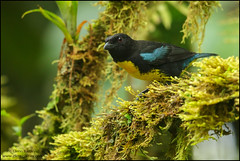Black-and-Gold Tanager (Bangsia melanochlamys) (Glenn Bartley - www.glennbartley.com) Tags: andes animal animalia animals aves avian bird birdwatching birds blackandgoldtanagerbangsiamelanochlamys colombia glennbartley nature neotropical rainforest southamerica wildlife