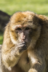 Macaca Sylvanus (Charliebubbles) Tags: barbarymacaque canoneos60d tamron18270mm monkeyforest photoshopcc 2017 wildlife nature