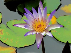lily in last summer (oneroadlucky) Tags: nature plant flower lotus waterlily purple