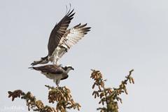 Foreplay (dekish1) Tags: 2v3a2424jpg silverthorne colorado unitedstates us canon7dmarkii canon100400mm copyrightdavidkish2017 osprey raptor foreplay mating silverthrone