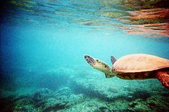 She sells sea shells... #sea #turtle #ocean #blue #green #underwater #hawaii #maui #tropical #water #snorkeling #reef #coral #vacation (lilylabphotography) Tags: marine sea turtle ocean blue green underwater hawaii maui tropical water snorkeling reef coral vacation