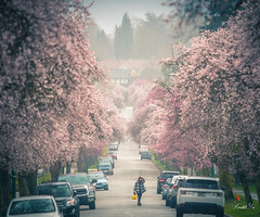 Rainy day 雨天 (T.ye) Tags: rainy rain flowers cherry blossom 櫻花 mist
