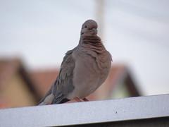 DSC00196 (familiapratta) Tags: sony dschx100v hx100v iso100 natureza pássaro pássaros aves nature bird birds novaodessa novaodessasp brasil