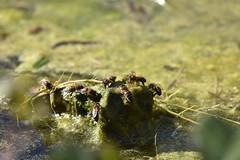 Abejas bebiendo en las algas (esta_ahi) Tags: latorredenvernet fontsangonera abejas abelles apis mellifera apismellifera apidae hymenoptera insectos fauna santmartísarroca penedès barcelona spain españa испания