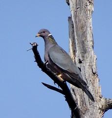 Band-tailed Pigeon--Patagioenas fasciata (Polioptila caerulea) Tags: bandtailedpigeon pigeon patagioenasfasciata patagioenas reliefhill nevadacounty california btpi