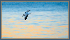 Blue and Gold, Framed (imageClear) Tags: framed bird bif gull seagull lake color beauty nature lovely imageclear flickr photostream d500 80400mm aperture nikon picmonkeycom